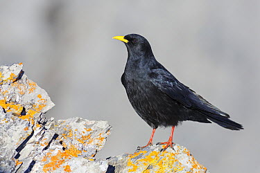Yellow-billed Chough (Pyrrhocorax graculus), Wallis, Switzerland  -  Christine Jung/ BIA