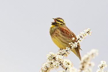 Cirl Bunting (Emberiza cirlus) male calling, Rhineland-Palatinate, Germany  -  Rosl Roessner/ BIA