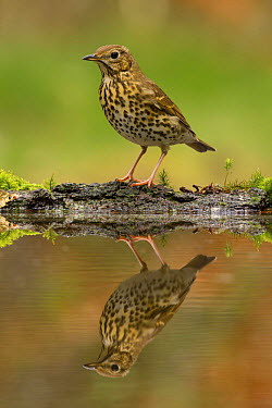 Song Thrush (Turdus philomelos) at pond, Utrecht, Netherlands  -  Walter Soestbergen/ BIA
