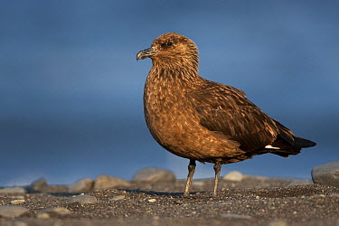 Great Skua (Catharacta skua), Iceland  -  Christoph Robiller/ BIA