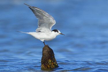Common Tern (Sterna hirundo) stretching, Victoria, Australia  -  Jan Wegener/ BIA