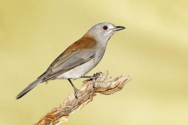 Grey Shrike-thrush (Colluricincla harmonica), Victoria, Australia  -  Jan Wegener/ BIA