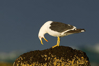 Kelp Gull (Larus dominicanus) calling, Victoria, Australia  -  Rob Drummond/ BIA