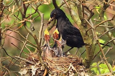 Eurasian Blackbird (Turdus merula) father feeding chicks in nest, Lower Saxony, Germany  -  Folkert Christoffers/ BIA
