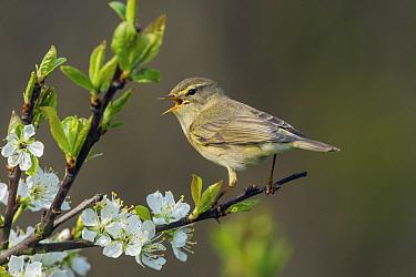 Willow Warbler (Phylloscopus trochilus) calling, Schleswig-Holstein, Germany  -  Peter Hering/ BIA