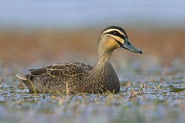 Pacific Black Duck (Anas superciliosa), Victoria, Australia  -  Rob Drummond/ BIA