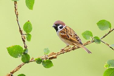 Eurasian Tree Sparrow (Passer montanus), Victoria, Australia  -  Jan Wegener/ BIA