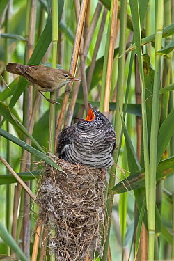 Eurasian Reed-Warbler (Acrocephalus scirpaceus) feeding Common Cuckoo (Cuculus canorus) chick, Saxony-Anhalt, Germany  -  Thomas Hinsche/ BIA