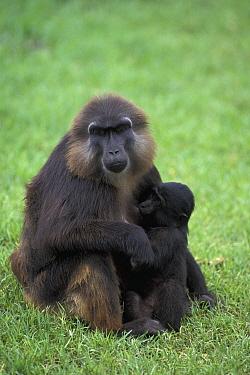 Moor Macaque (Macaca maura) mother nursing young, native to Asia  -  Roland Seitre