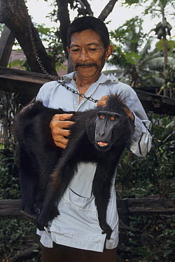 Celebes Black Macaque (Macaca nigra) chained up and held by owner, native to Asia  -  Roland Seitre