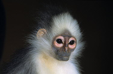 Banded Leaf Monkey (Presbytis melalophos), native to Asia  -  Roland Seitre