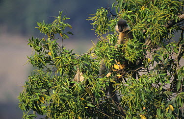 Capped Langur (Trachypithecus pileatus) in tree, India  -  Roland Seitre