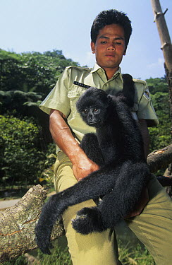 Dwarf Gibbon (Hylobates klossii) sub-adult on ranger's lap, native to Asia  -  Roland Seitre