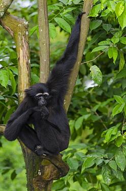 Muller's Bornean Gibbon (Hylobates muelleri) in tree, native to Borneo  -  Roland Seitre