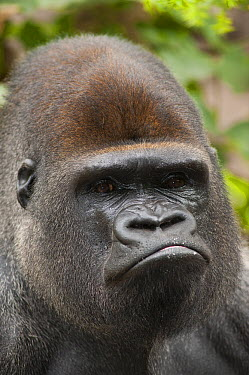 Western Lowland Gorilla (Gorilla gorilla gorilla) silverback male appearing to pout, native to central Africa  -  Roland Seitre