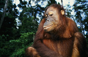 Orangutan (Pongo pygmaeus) female, native to Borneo  -  Roland Seitre