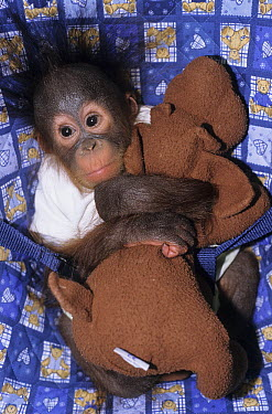 Orangutan (Pongo pygmaeus) orphan baby with stuffed toy, native to Borneo  -  Roland Seitre