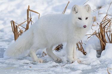Arctic Fox (Alopex lagopus) in winter, Omega Park, Montebello, Quebec, Canada  -  Roland Seitre