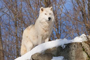 Arctic Wolf (Canis lupus), Omega Park, Montebello, Quebec, Canada  -  Roland Seitre