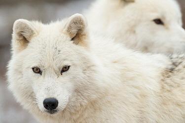 Arctic Wolf (Canis lupus) pair, Omega Park, Montebello, Quebec, Canada  -  Roland Seitre