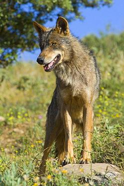 Iberian Wolf (Canis lupus signatus), native to Spain  -  Roland Seitre