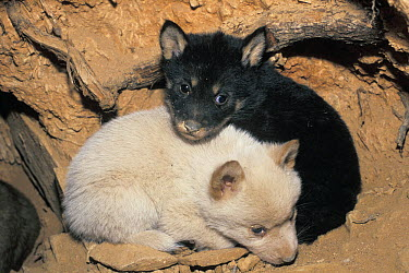 Dingo (Canis lupus dingo) black and white pup, native to Australia  -  Roland Seitre