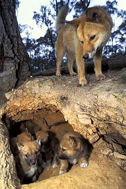 Dingo (Canis lupus dingo) parent and pups at den, native to Australia  -  Roland Seitre