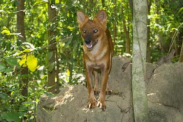 Dhole (Cuon alpinus), native to Asia  -  Roland Seitre
