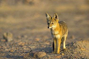 Patagonian Fox (Pseudalopex patagonicus), native to Chile  -  Roland Seitre