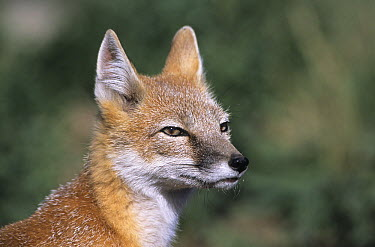 Swift Fox (Vulpes velox), native to North America  -  Roland Seitre