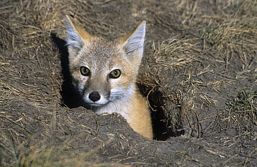 Swift Fox (Vulpes velox) emerging from den, native to North America  -  Roland Seitre