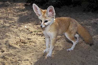 Fennec Fox (Vulpes zerda), native to northern Africa  -  Roland Seitre