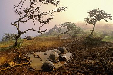 Volcan Alcedo Giant Tortoise (Chelonoidis vandenburghi) group wallowing in mud, Alcedo Volcano, Isabela Island, Galapagos Islands, Ecuador  -  D. Parer & E. Parer-Cook
