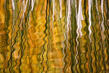 Common Reed (Phragmites australis) reflecting in water, Switzerland  -  Heike Odermatt