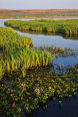 Bogbean (Menyanthes trifoliata) and Yellow Iris (Iris pseudacorus) flowering at edge of coastal lagoon, De Bollekammer Nature Reserve, Texel, Netherlands  -  Heike Odermatt