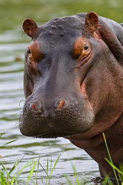 Hippopotamus (Hippopotamus amphibius) bull, Khwai River, Botswana  -  Vincent Grafhorst