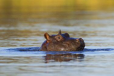 Hippopotamus (Hippopotamus amphibius) juvenile at surface, Khwai River, Botswana  -  Vincent Grafhorst