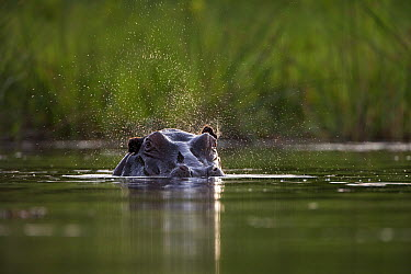 Hippopotamus (Hippopotamus amphibius) flapping ears, Botswana  -  Vincent Grafhorst
