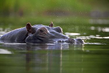 Hippopotamus (Hippopotamus amphibius) spraying water from nostrils, Khwai River, Botswana  -  Vincent Grafhorst
