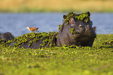 Hippopotamus (Hippopotamus amphibius) covered with water plants and with an African Jacana (Actophilornis africanus) on its back, Botswana  -  Vincent Grafhorst