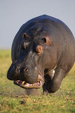 Hippopotamus (Hippopotamus amphibius) bull charging in territorial display, Botswana  -  Vincent Grafhorst