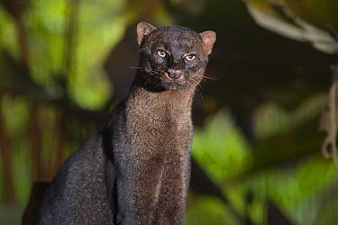 Jaguarundi (Puma yagouaroundi) portrait, native to Central and South America  -  Roland Seitre