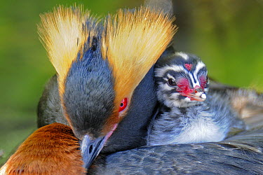 Horned Grebe (Podiceps auritus) parent carrying chick, Sweden  -  Winfried Wisniewski