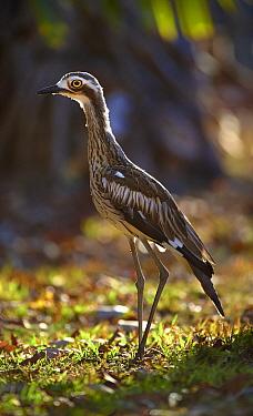 Bush Stone-curlew (Burhinus grallarius), Magnetic Island, Queensland, Australia  -  Martin Willis
