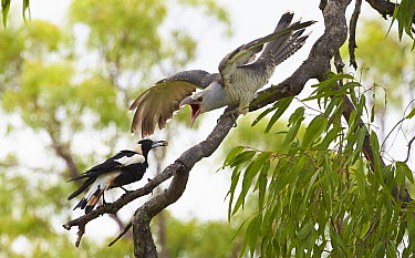 Channel-billed Cuckoo (Scythrops novaehollandiae) juvenile being fed by Australian Magpie (Gymnorhina tibicen) host, Queensland, Australia  -  Martin Willis