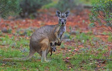 Wallaroo (Macropus robustus) mother and joey, Cunnamulla, Queensland, Australia  -  Martin Willis