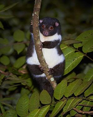 Herbert River Ringtail Possum (Pseudochirulus herbertensis) at night, Wondecla, Queensland, Australia  -  Martin Willis