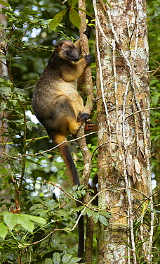 Lumholtz's Tree-kangaroo (Dendrolagus lumholtzi) climbing vine, Malanda, Queensland, Australia  -  Martin Willis