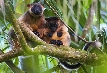 Lumholtz's Tree-kangaroo (Dendrolagus lumholtzi) mother and joey in tree, Malanda, Queensland, Australia  -  Martin Willis
