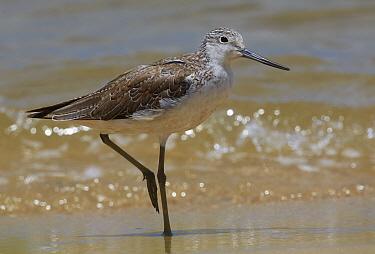 Marsh Sandpiper (Tringa stagnatilis) on shore, Cairns, Queensland, Australia  -  Martin Willis
